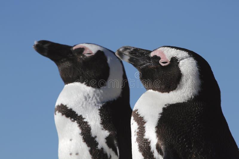 Portrait de deux pingouins africains images libres de droits