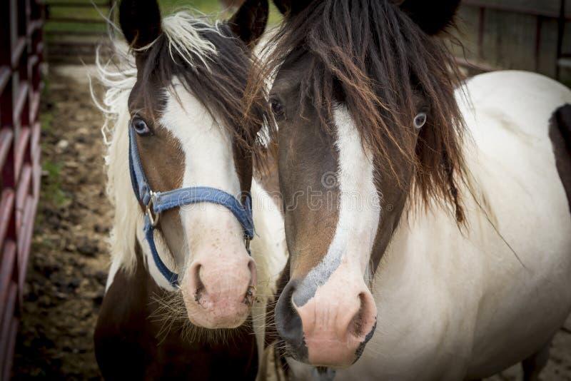 Portrait de deux poneys mignons image stock