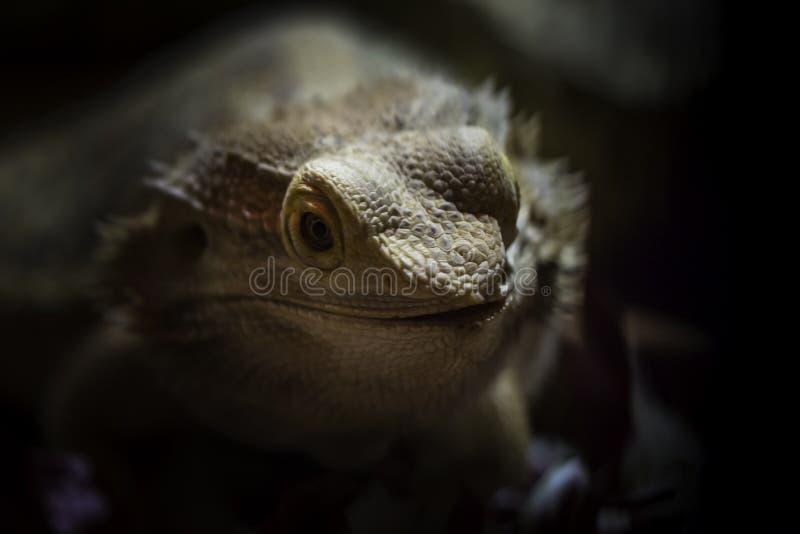 Portrait de dragon barbu central photographie stock libre de droits