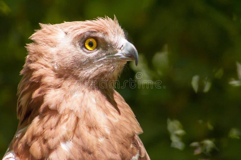Portrait de faucon photographie stock libre de droits