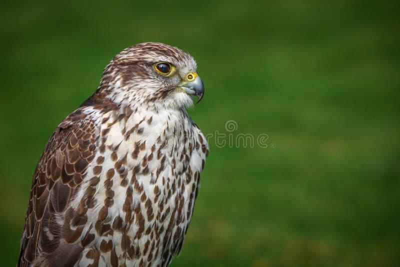 Portrait de faucon de prairie photographie stock