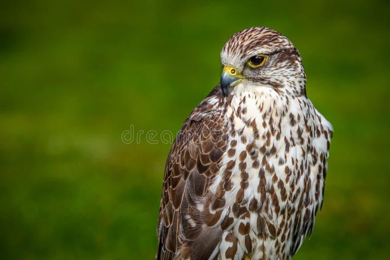 Portrait de faucon de prairie photos stock