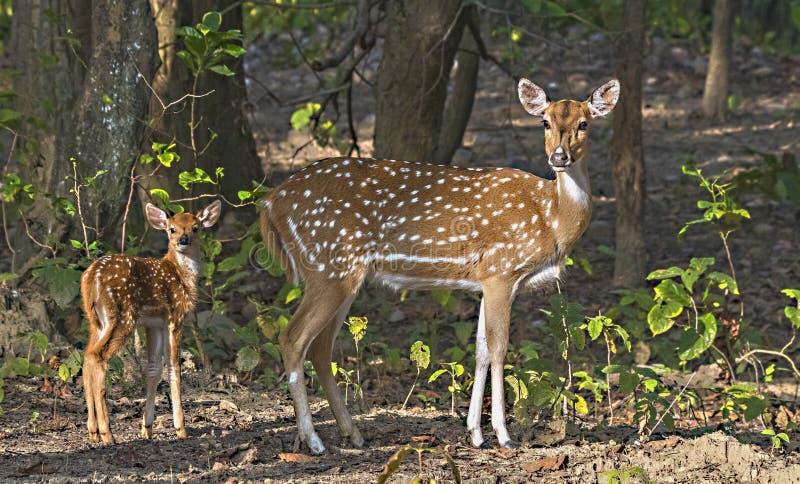 Portrait de femelle repérée de cerfs communs avec le faon dans la forêt photographie stock