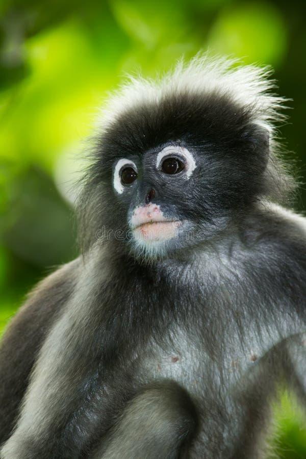 Portrait de Feuille-singe sombre images stock