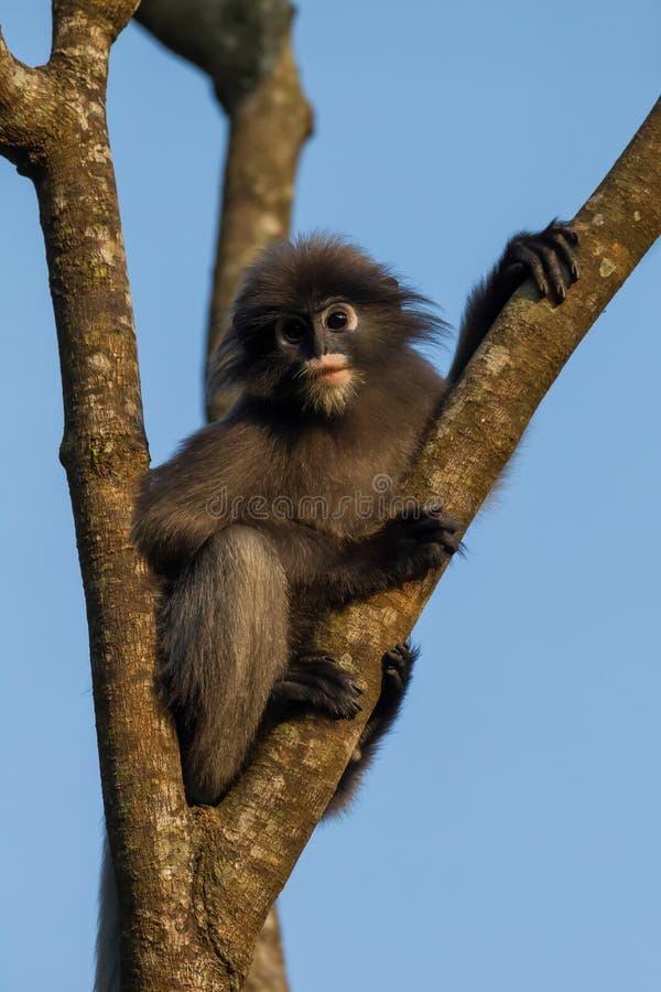 Portrait de Feuille-singe sombre photos libres de droits
