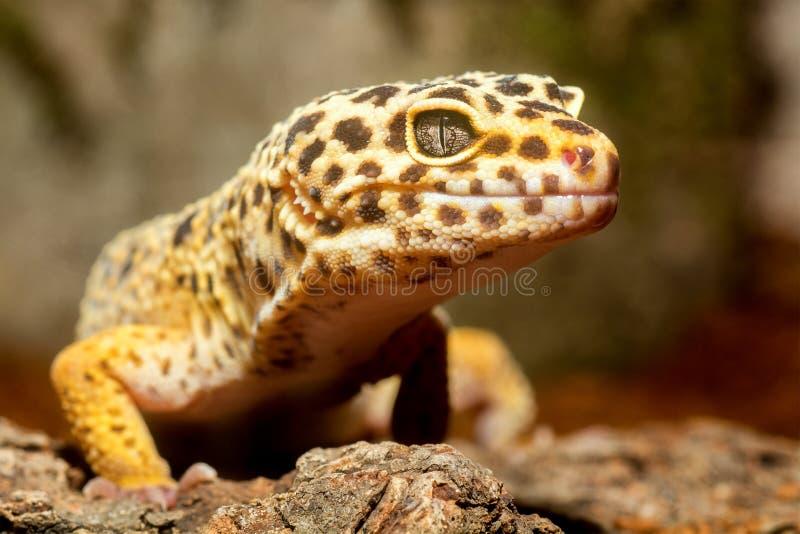 Portrait de gecko images stock