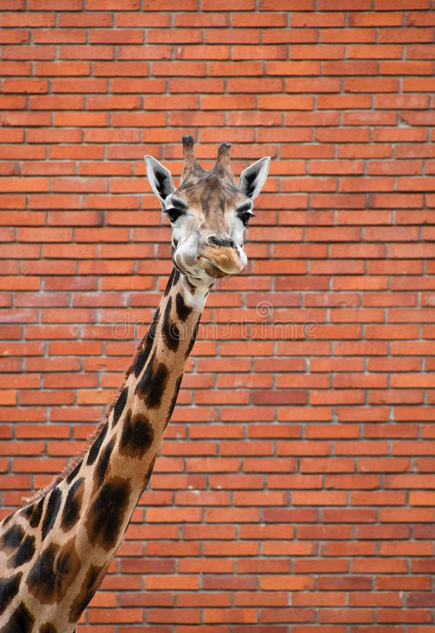 Portrait de girafe au-dessus de mur de briques rouge photographie stock libre de droits