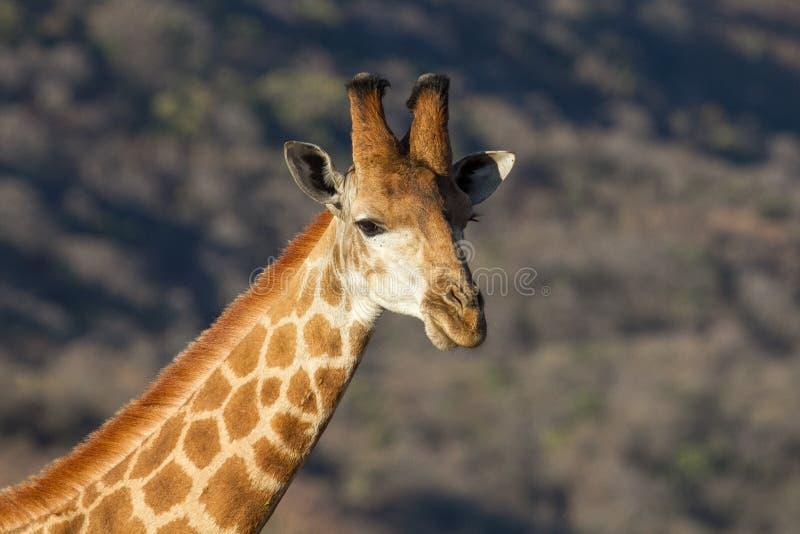 Portrait de girafe dans la réservation de jeu de Ndaka photo libre de droits