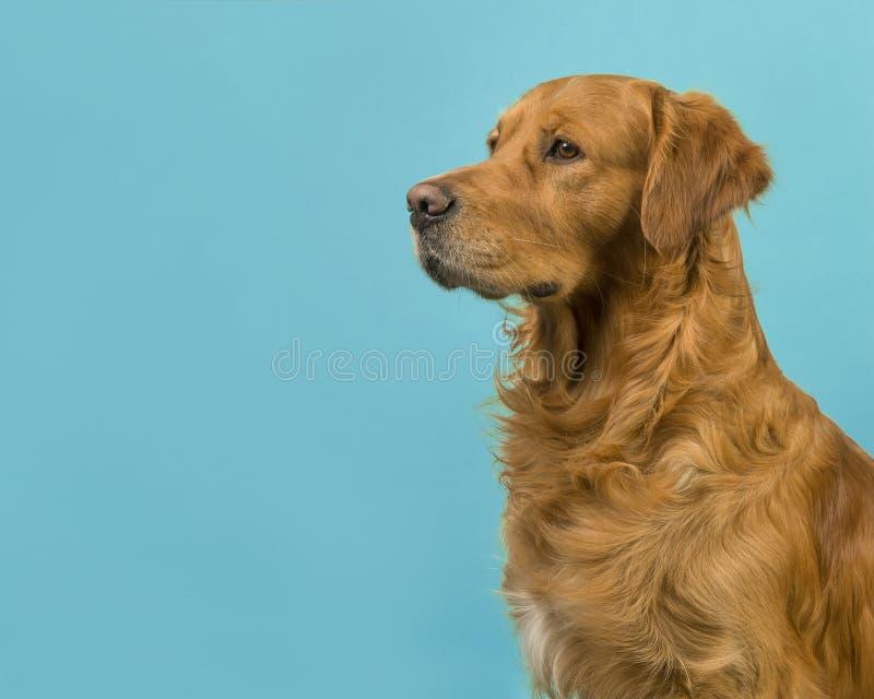 Portrait de golden retriever vu du côté sur un bleu de turquoise photo libre de droits