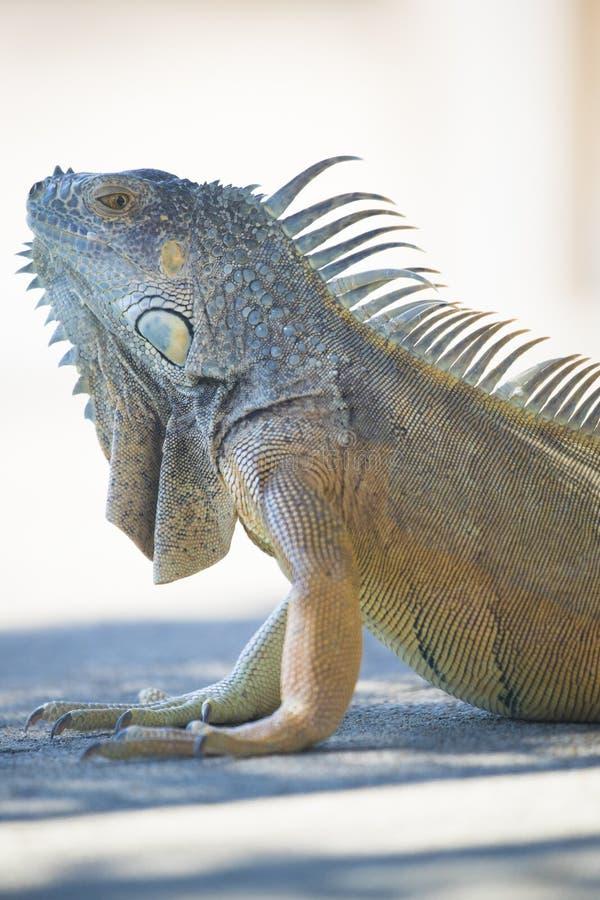 Portrait de grand iguane vert image libre de droits