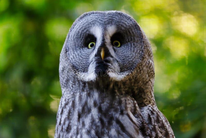 Portrait de grand nebulosa masculin adulte de Strix de hibou gris photos libres de droits