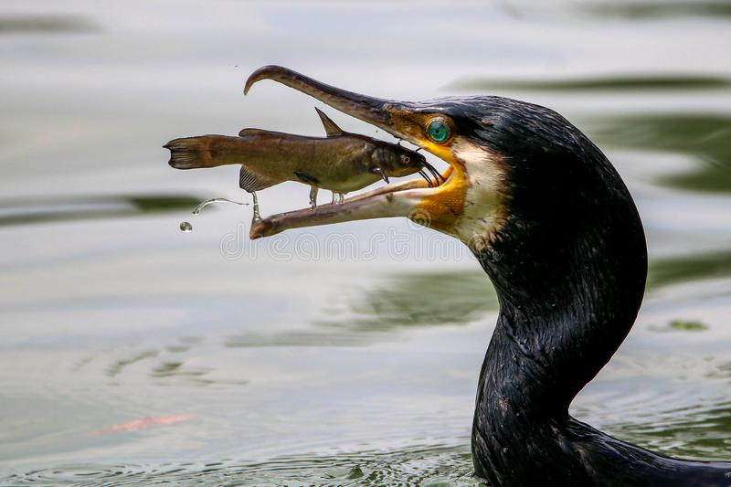Portrait de grands poissons de capture de Cormorant images stock