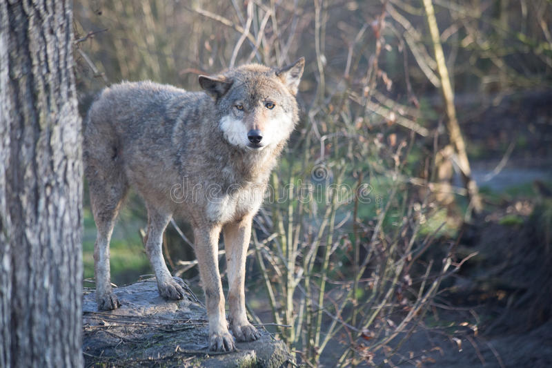 Portrait de Grey Wolf (lupus de Canis) - animal captif photo libre de droits
