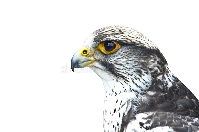 Portrait de Gyrfalcon images stock