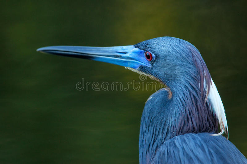Portrait de héron de Tricolored photo libre de droits