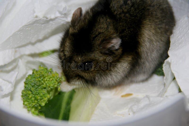 Portrait de hamster gris photos stock