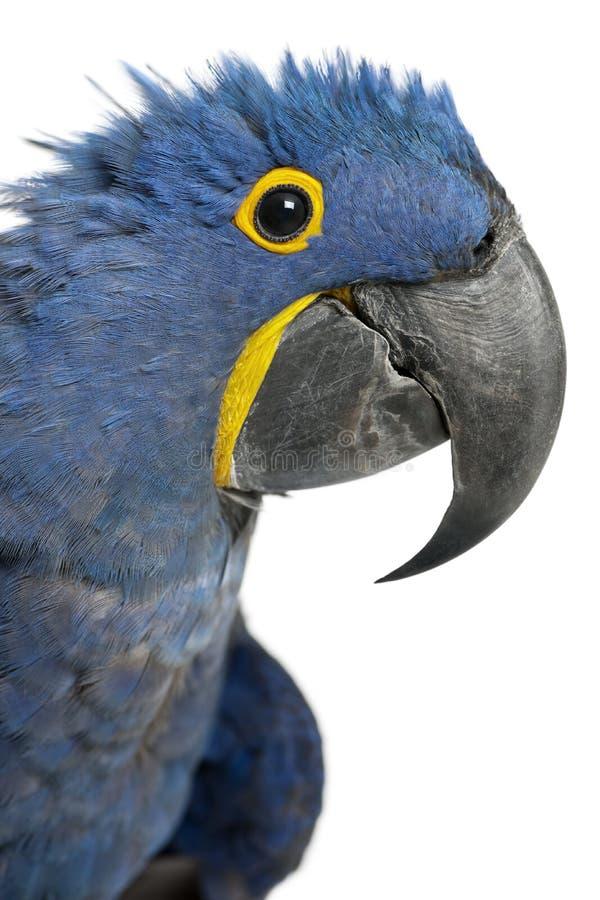 Portrait de Hyacinth Macaw image stock