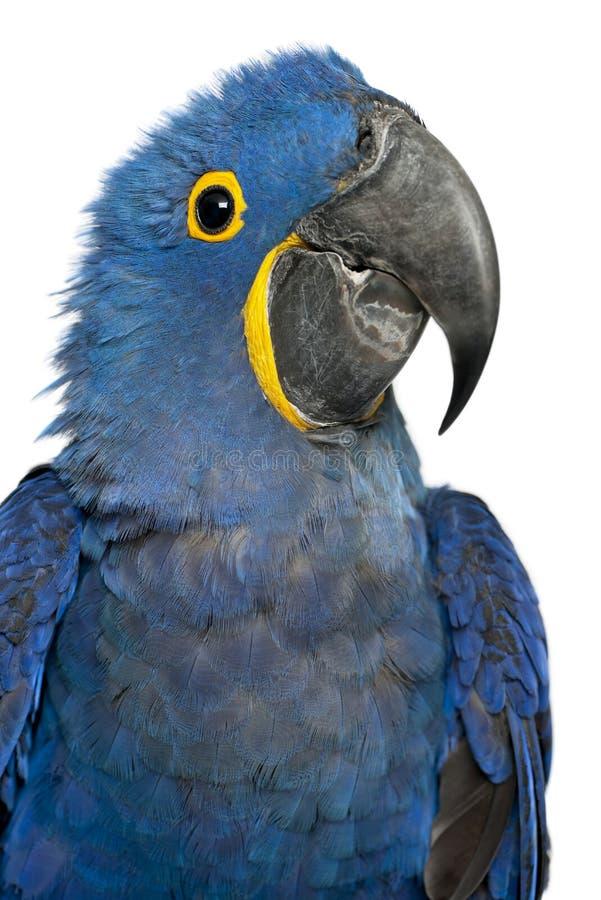 Portrait de Hyacinth Macaw images stock