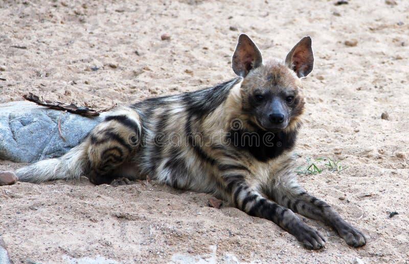 Portrait de hyaena de Hyaena d'hyène rayée image libre de droits