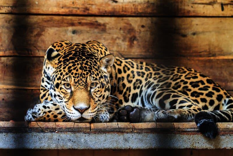 Portrait de Jaguar photographie stock libre de droits