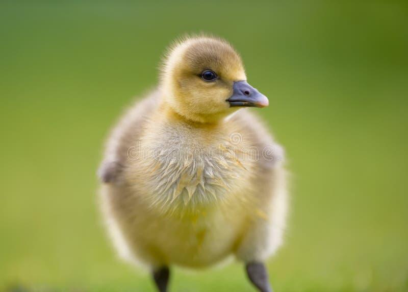 Portrait de jeune Canada Gosling photo libre de droits