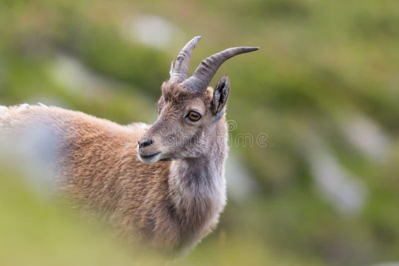 Portrait de jeune Capricorne alpin naturel de bouquetin image stock