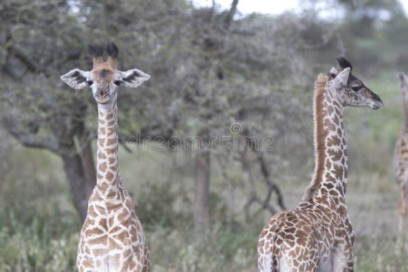 Portrait de jeune girafe sauvage gratuite images libres de droits