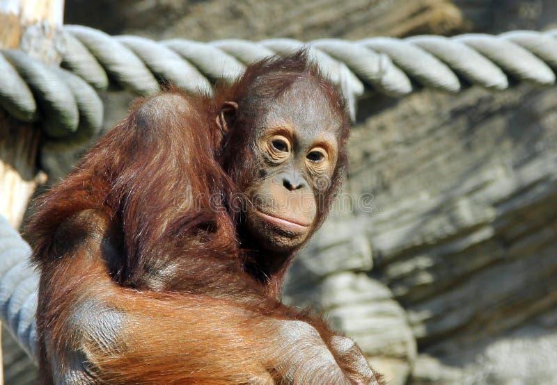 Portrait de jeune pygmaeus de Pongo d'orang-outan de Bornean image stock