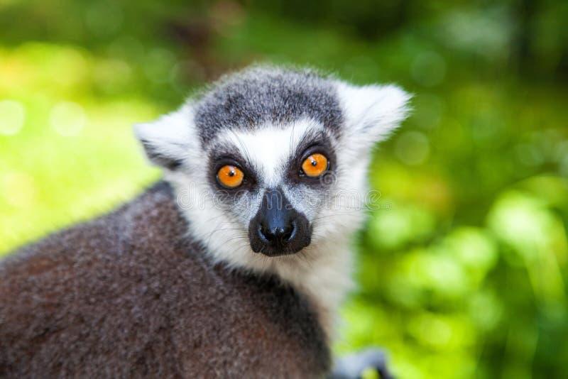 Portrait de lémur Anneau-coupé la queue photos stock
