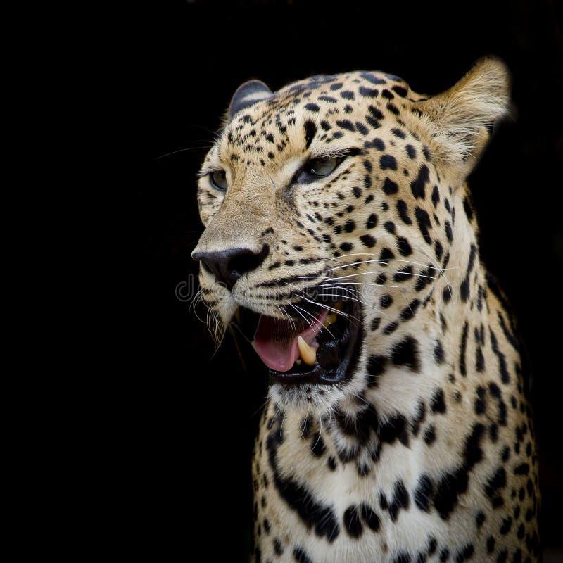 Portrait de léopard photos libres de droits