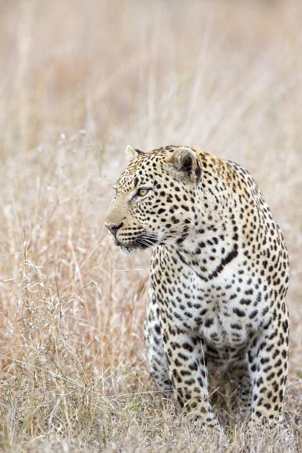 Portrait de léopard dans le sauvage images stock