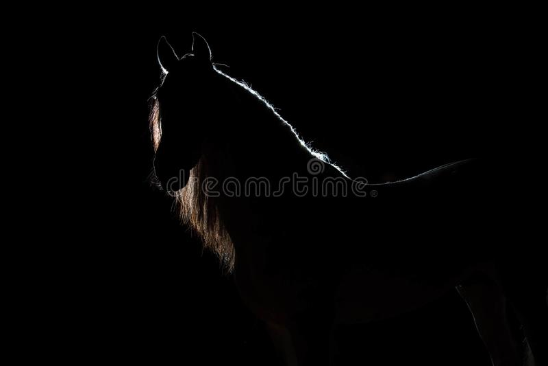 Portrait de l'étalon espagnol avec la crinière écartée Découpe de lumière de silhouette Illumination derrière L'ibackgr noir photo stock