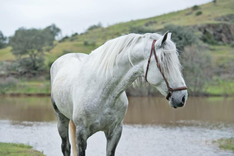 Portrait de l'étalon espagnol pur blanc posant dans le lac andalusia l'espagne photos stock