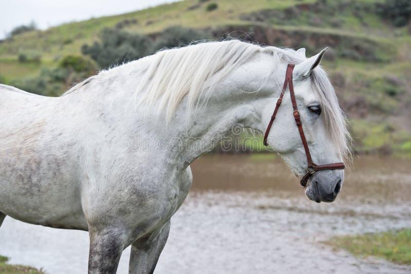 Portrait de l'étalon espagnol pur blanc posant dans le lac andalusia l'espagne image stock