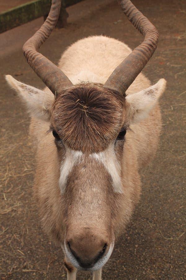 Portrait de l'addax animal en parc zoologique image stock