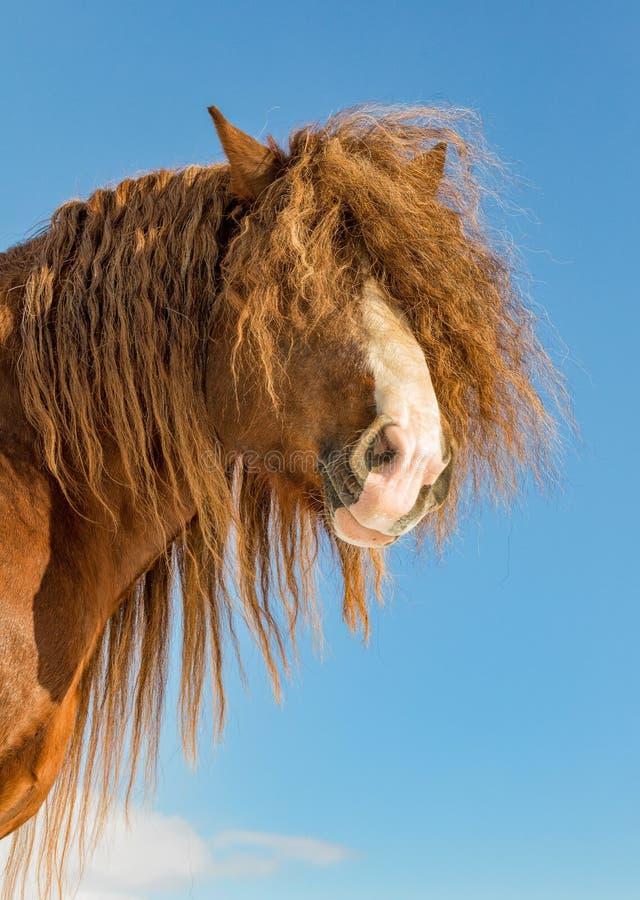 Portrait de l'agar, cheval belge de Bohème-Moravian dans le jour ensoleillé République Tchèque images stock