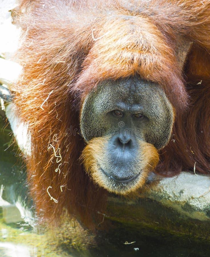 Portrait de l'orang-outan masculin de Sumatran, regard triste d'abelii de Pongo, vue de frot L'orang-outan de Sumatran est endémi image stock