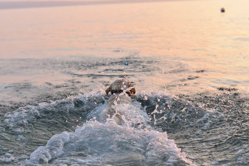 Portrait de la natation blanche de chiot de chien d'arrêt en mer photographie stock libre de droits