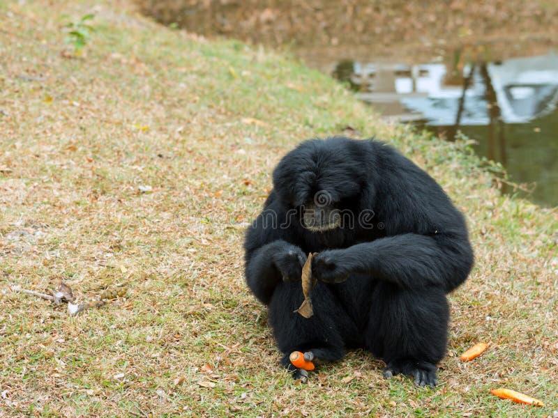 Portrait de la séance de Siamang Gibbon image stock