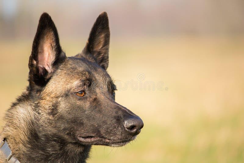 Portrait de la tête du berger adulte belge de Malinois et d'un fond brouillé photo libre de droits
