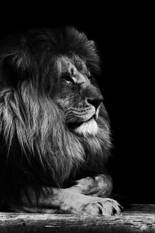portrait de lion en noir et blanc image stock image du. Black Bedroom Furniture Sets. Home Design Ideas