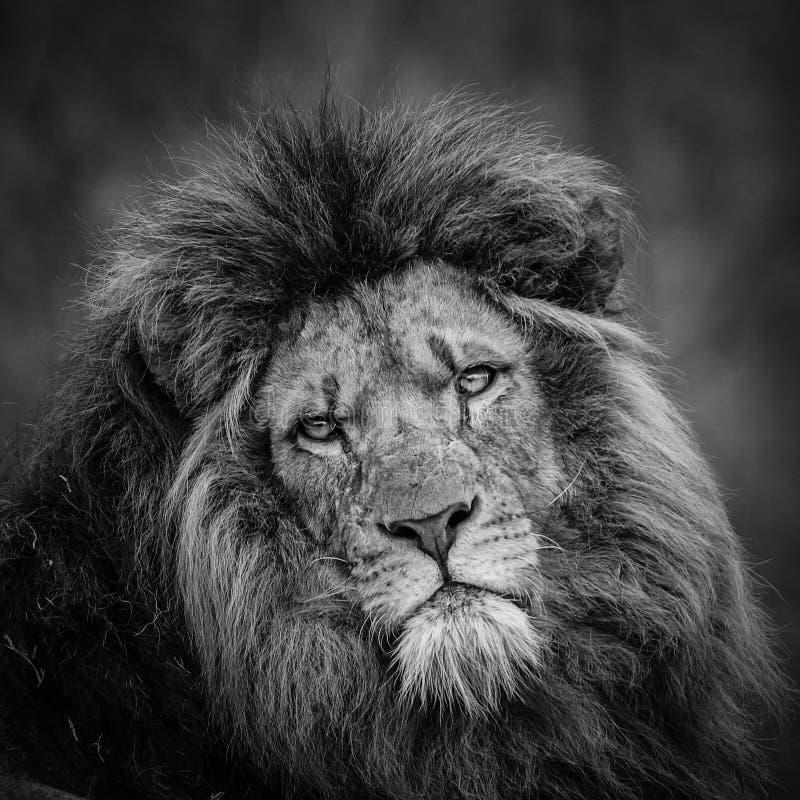 portrait de lion noir et blanc photo stock image du. Black Bedroom Furniture Sets. Home Design Ideas