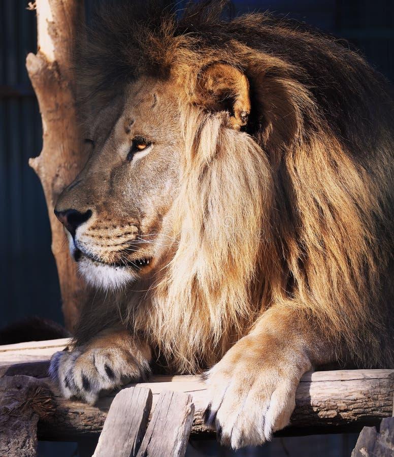 Portrait de lion regardant à gauche photographie stock