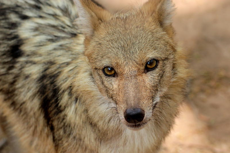 Portrait de loup sauvage photo stock