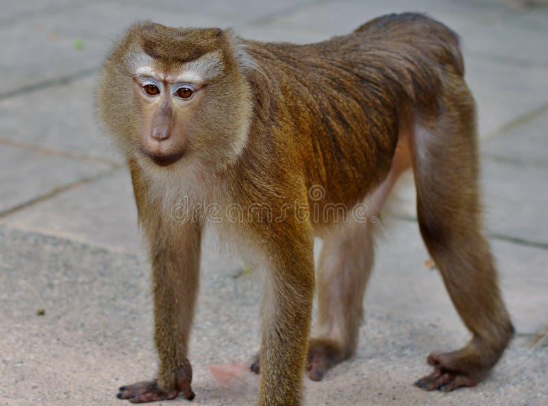 Portrait de macaque avec les yeux tristes photo libre de droits