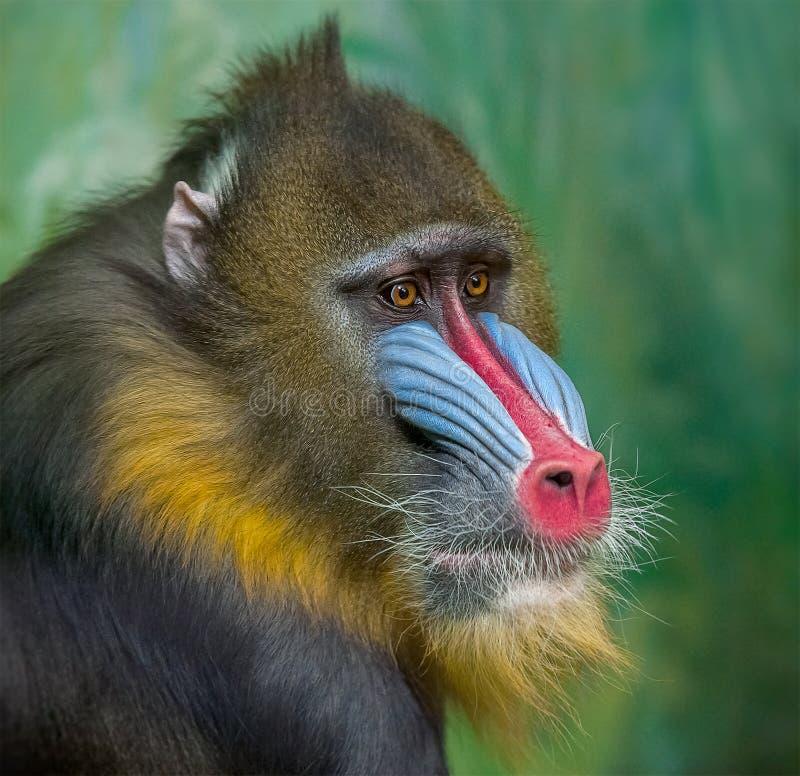 Portrait de mandrill, sphinx de Mandrillus, primat de la famille de singe de Vieux Monde images stock