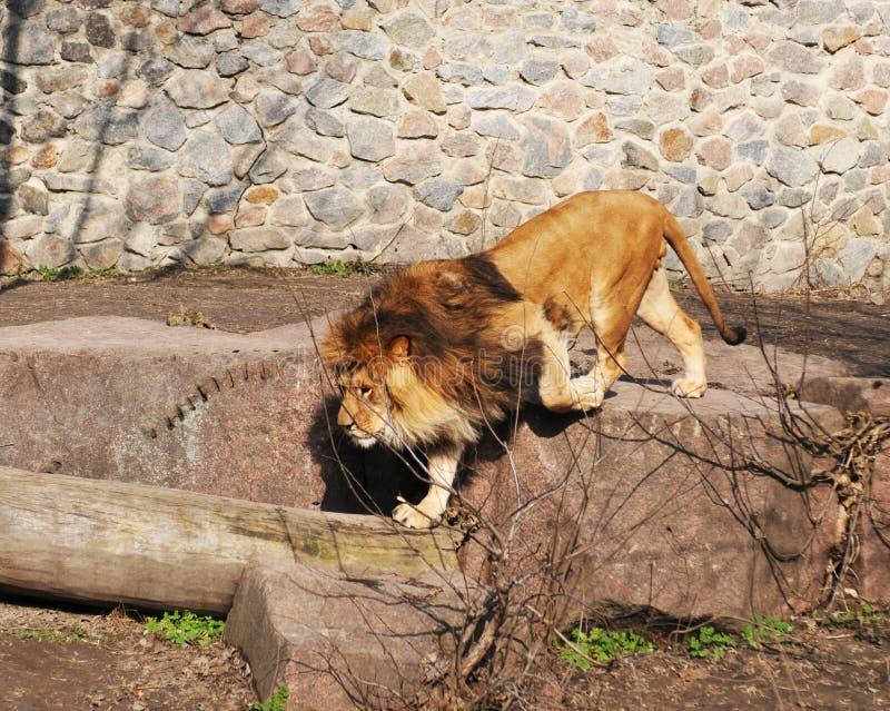 Portrait de marche de lion image stock
