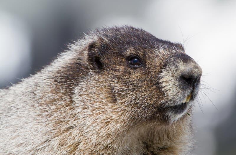 Portrait de Marmot blanchi photo stock
