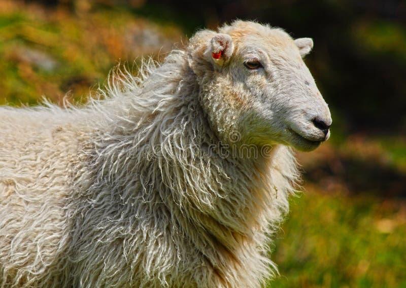 Portrait de moutons images libres de droits