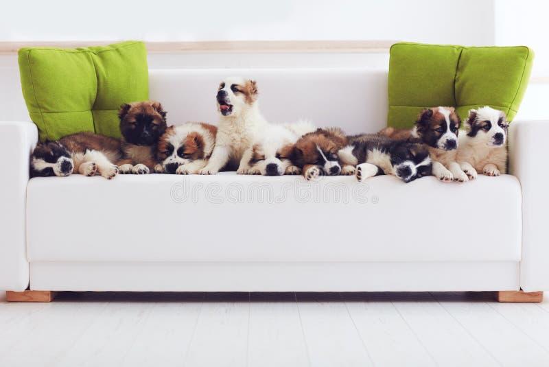 Portrait de neuf chiots de berger caucasiens les plus mignons se situant dans la rangée sur le sofa à la maison images libres de droits